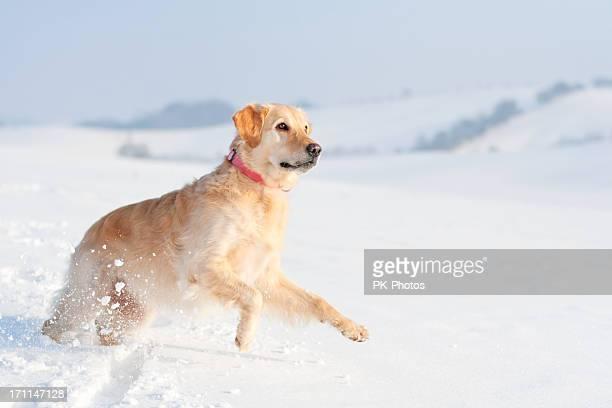 Verspielte Golden Retriever im Schnee