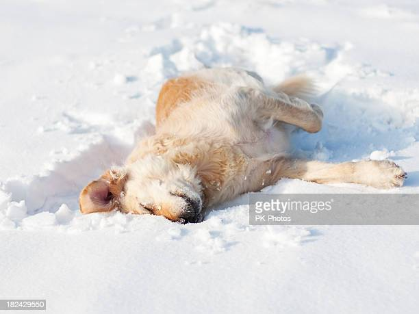 Playful Golden Retriever in the snow