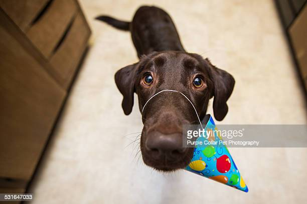 Playful Labrador Retriever dog with birthday hat
