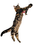 Playful Maine Coon kitten on white background
