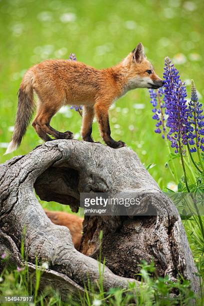 Playful red fox pup curiously smelling spring flowers.