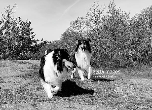 Playful Rough Collies On Field Against Sky