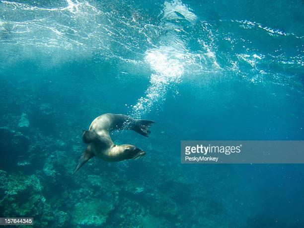 Sealion リーブズ遊び心のあるバブルトレイル水中のガラパゴス海