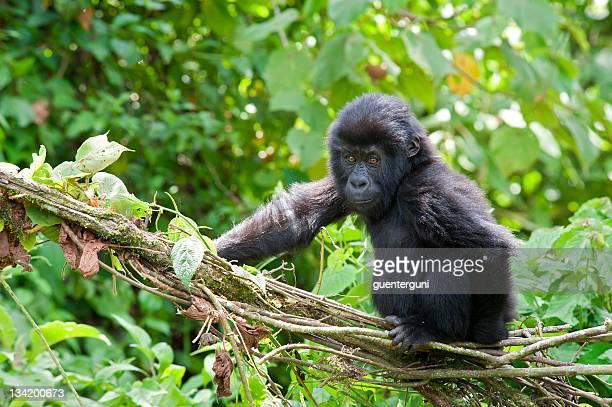 遊び心のある若いゴリラ、コンゴ、野生動物の写真