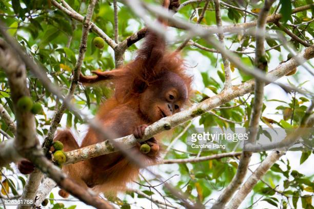 Playful young Orang Utan in the wild.