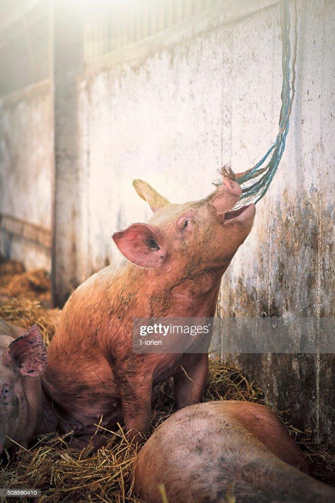 Playfull Pig on Eco Farm : Bildbanksbilder