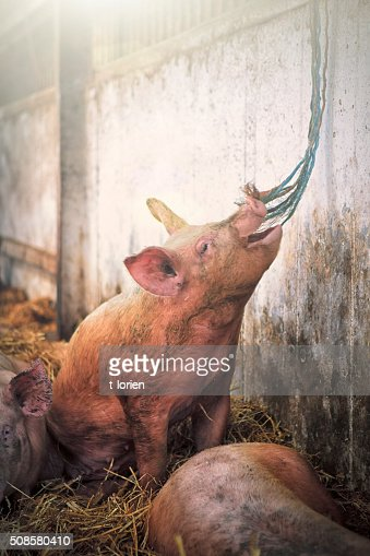 Playfull de ferme écologique cochon : Photo