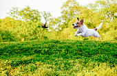 Jack Russell Terrier hunting on starling bird