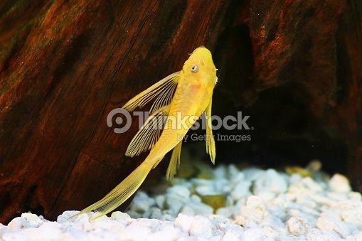 Pleco Catfish Blue Eye Bushynose Ancistrus Dolich Stock
