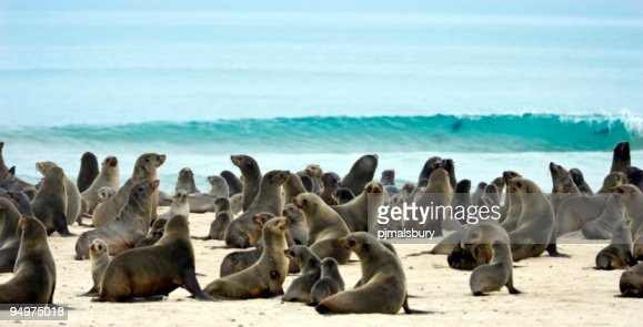 Plethora of seals on the sand by the ocean