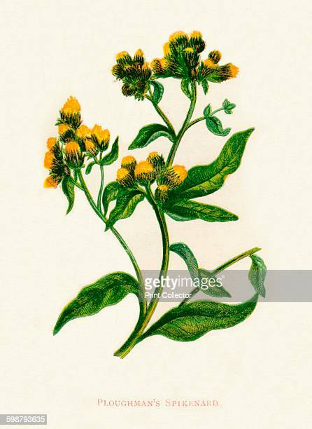 Ploughmans Spikenard circa 1891 From Wild Flowers by Anne Pratt 1891 [Society for Promoting Christian Knowledge London 1891] Artist Anne Pratt