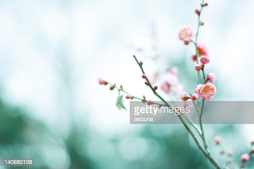 Plum blossom in winter air : Stock Photo