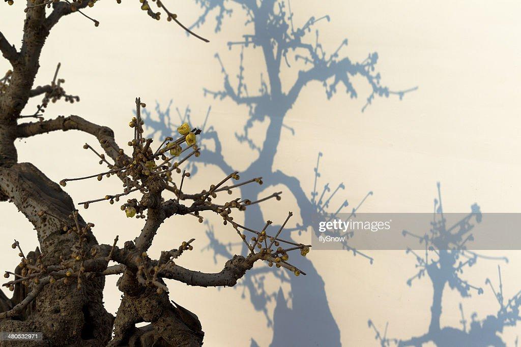 Plum Blossom  梅花 : Stock Photo