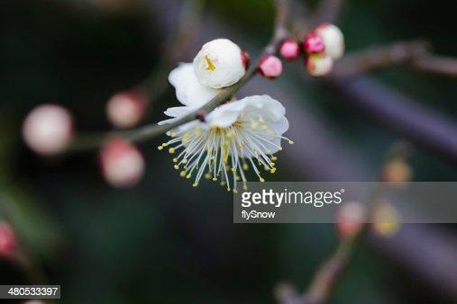 Plum Blossom, 梅花 : Stock-Foto