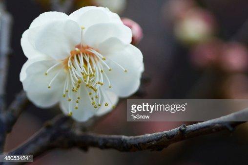 Plum Blossom  白梅 : Stock Photo