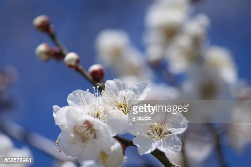 White plum : Stock-Foto