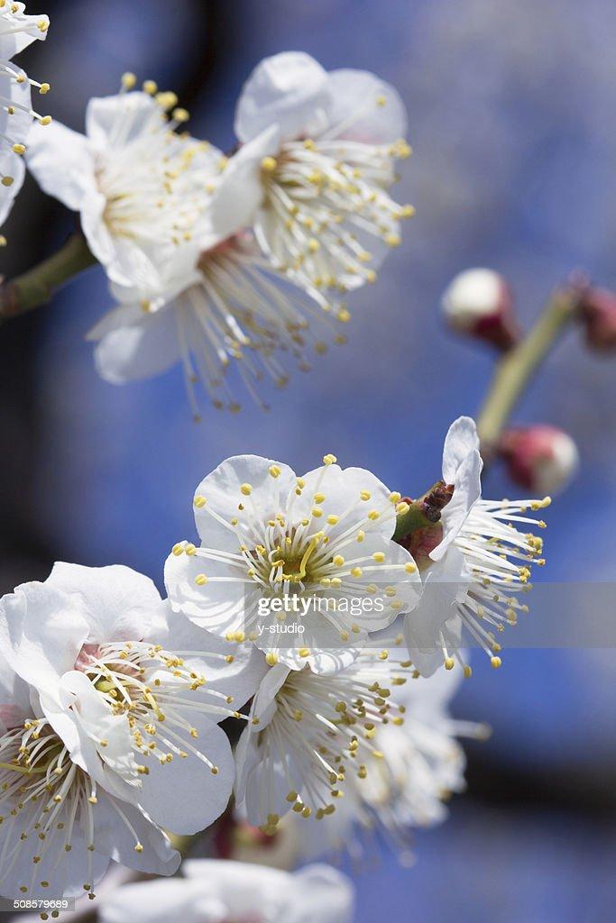 White plum : Stock-Foto