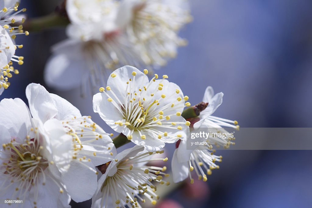 Plum blossom : Stock Photo