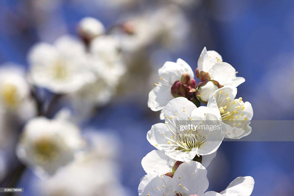 Prugna bianco : Foto stock
