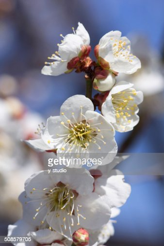 Prune, blanc : Photo