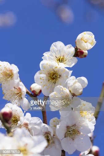 Plum blossom : Stockfoto