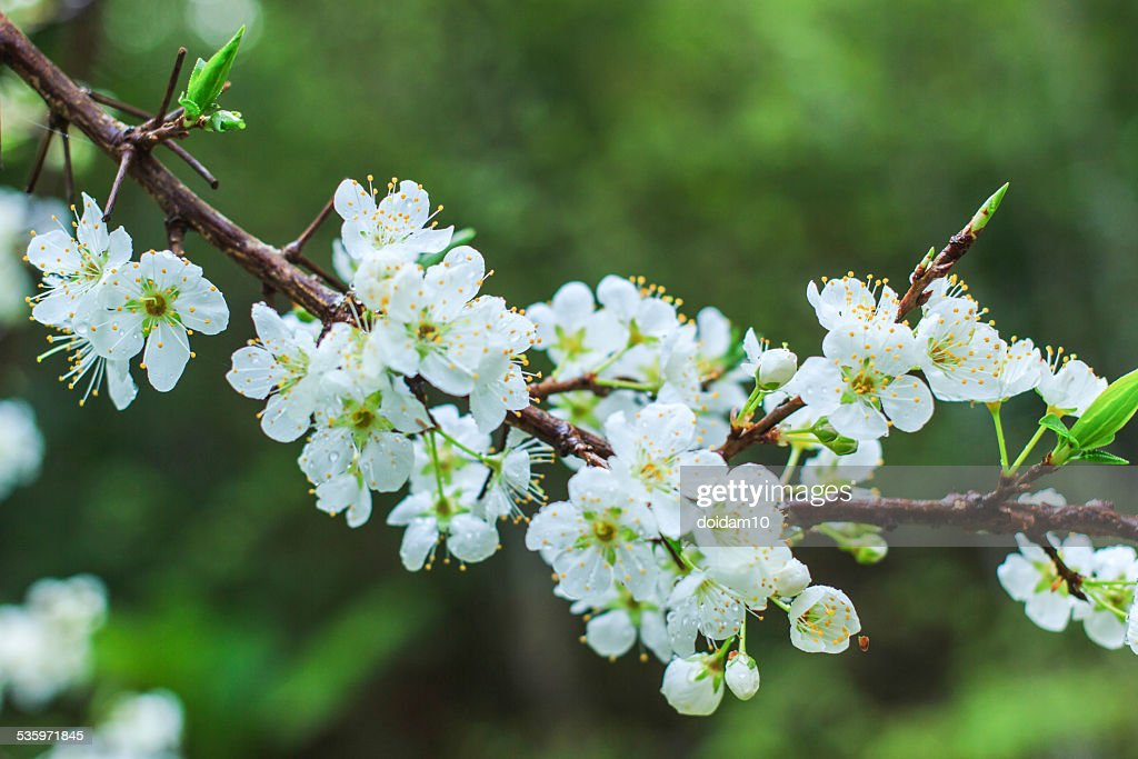 Plum blossom with white flowers in garden. : Stock Photo