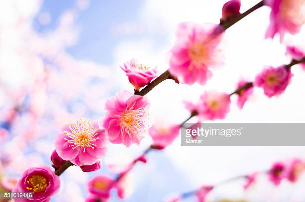 Plum blossoms against blue sky