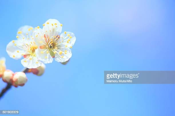 Plum blossoms and sky