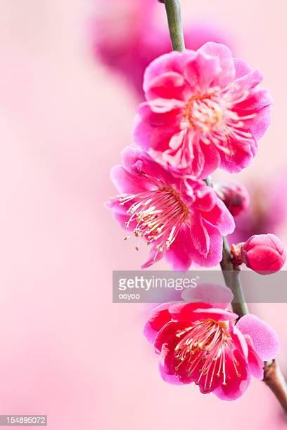 Ameixa Flores