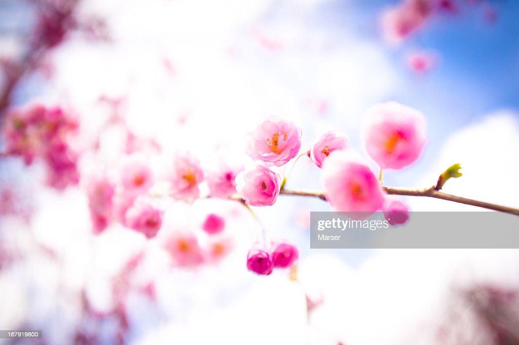 plum blossoms : Stock Photo