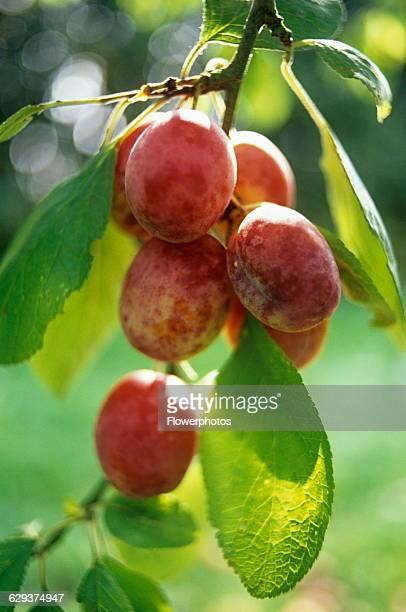 Plum Prunus domestica 'Victoria'