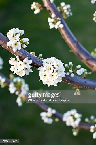Plum tree blossom : Stock Photo