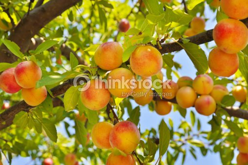 Plum tree with fruits : Stock Photo