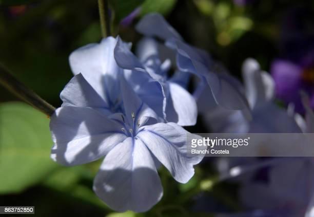 Plumbago  flower in bloom