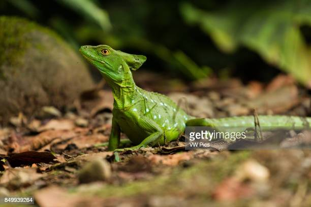 Plumed Basilisk Green Basilisk Double Crested Basilisk Basiliscus plumifrons is named after an ancient mythical basilisk that could kill a man with...