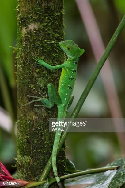 Plumed Basilisk Green Basilisk Double Crested Basilisk Basiliscus plumifrons