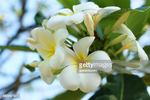 Plumeria blooming in the garden : Stock Photo