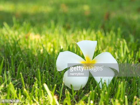 plumeria flowers On grass : Stock Photo