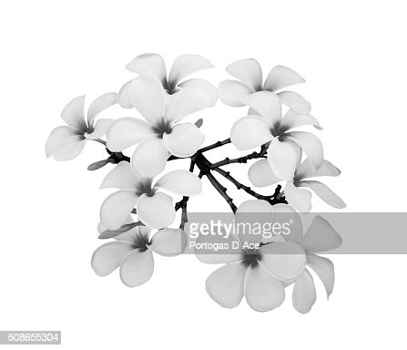 Plumeria isolated on white background : Stock Photo