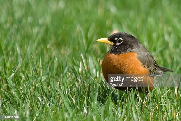 Généreux Robin
