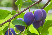 Plums on a tree in summer