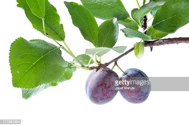 Plums on branch