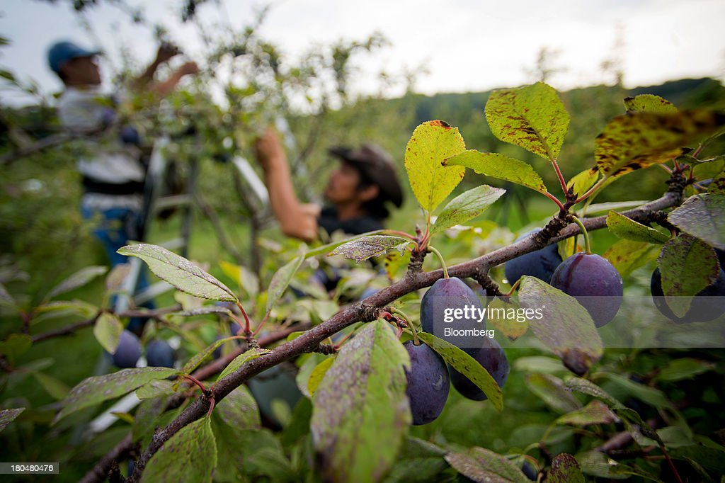 Plums sit on a tree as farm workers harvest at Stone Ridge Orchard in Stone Ridge, New York, U.S., on Thursday, Sept. 12, 2013. With apple harvest now officially underway across the state of New York, nearly 700 apple growers are expected to pick about 32 million bushels by the time harvest concludes in November, according to New York Apple Association (NYAA) reports. Photographer: Craig Warga/Bloomberg via Getty Images