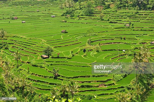 Plunging view on ricefields