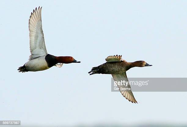 Pochard Couple in Flight