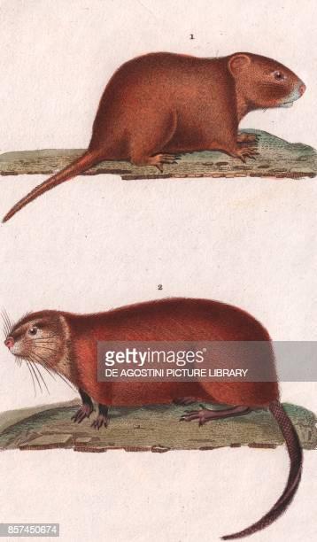 1 Pocket gopher 2 Muskrat colour copper engraving retouched in watercolour 9x15 cm from Dizionario delle scienze naturali compilato da vari...