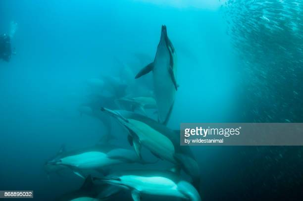 Pod of common dolphins attack a sardine bait ball during the sardine run, Wild Coast, South Africa. Bronze whaler sharks can also be seen in the bait ball.