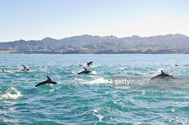 A pod of Dolphins jumping out of the sea