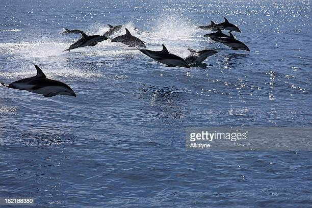 Pod of jumping dolphins