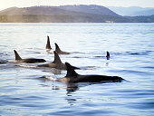 Group of orca (killer whales) moving together in a costal landscape